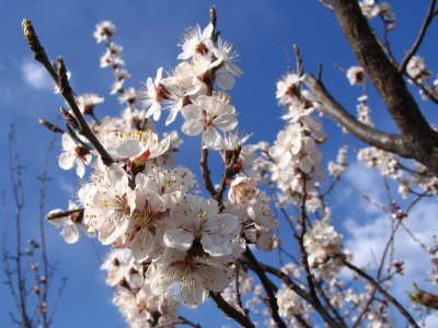 Blooming apricot tree